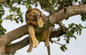 """FOTOLAJM/ Bota magjike e kafshëve, kur """"Mbreti i Pyllit"""" vendos të dremisë"""