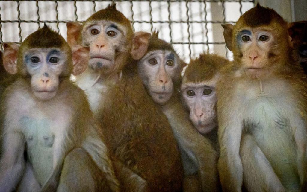 Indi/ Majmunët sulmojnë laborantin dhe i vjedhin tre teste COVID-19, frikë për përhapjen e epidemisë