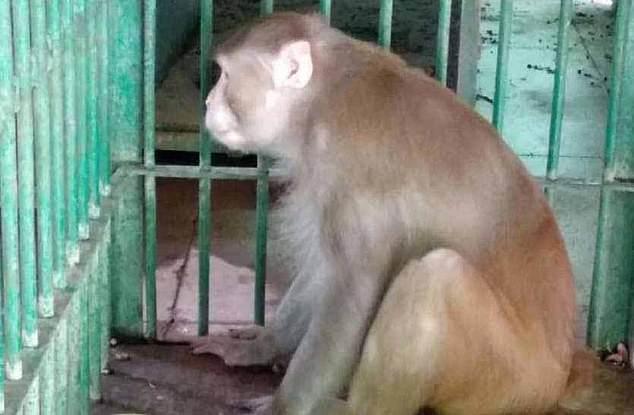Majmuni i dehur vret një njeri dhe plagos 250 të tjerë, dënohet me burgim të përjetshëm